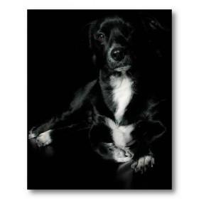Αφίσα (Λαμπραντόρ, σκύλος, μαύρο, μαύρο, λευκό, άσπρο)